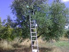 Century-old olive trees