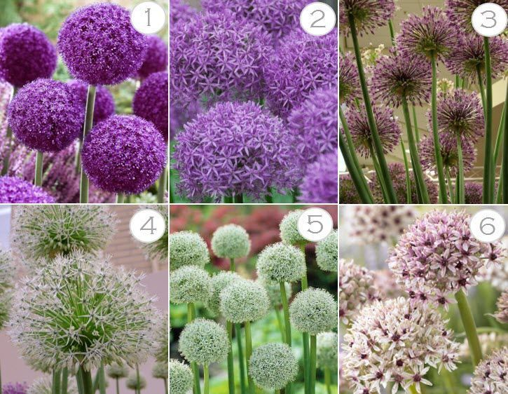 Alliums Bulb Click Examples Information Plant Planting Tips Information Planting Examples Alliums Plants Purple Flowers Garden Garden Bulbs