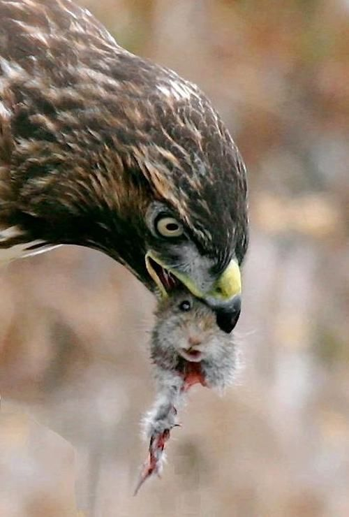 Image result for images of hawks eating gophers