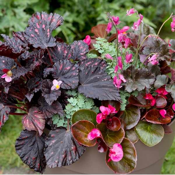 Begonia And Bleeding Heart Pot Display Begonia Flower Pots Bleeding Heart