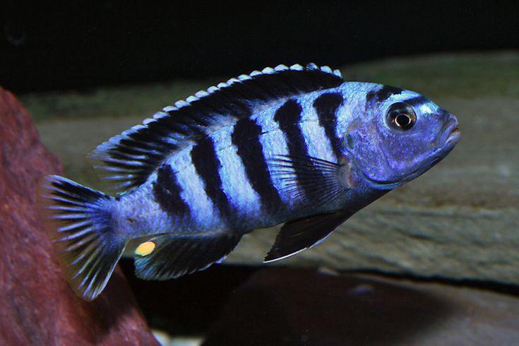 Dwarf mbuna cichlid mildly aggressive the life aquatic for Non aggressive fish
