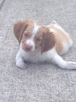 Litter of 4 Brittany puppies for sale in TEAGUE, TX. ADN-43824 on PuppyFinder.com Gender: Male. Age: 9 Weeks Old