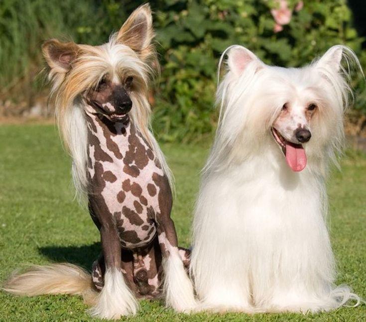 Fotos da Raça de Cachorro Crista Chinês   Raças de Cachorros