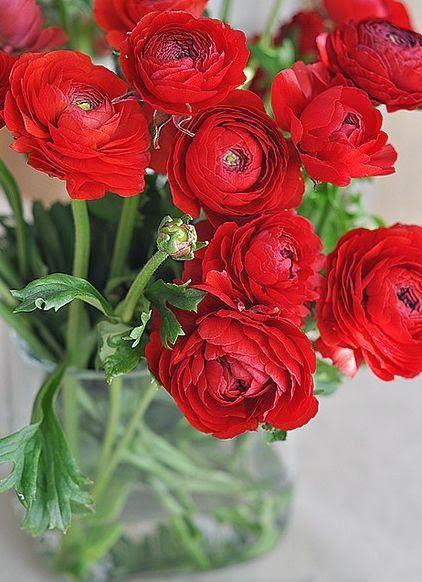 Ranunculus - Persian Buttercup