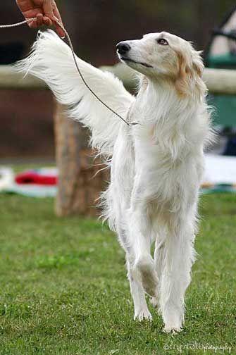 silken windhound running - Google Search