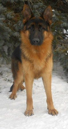 German Shepherd bold, strong and a perfect example of a german shepherd dog love U www.capemaydogs.com