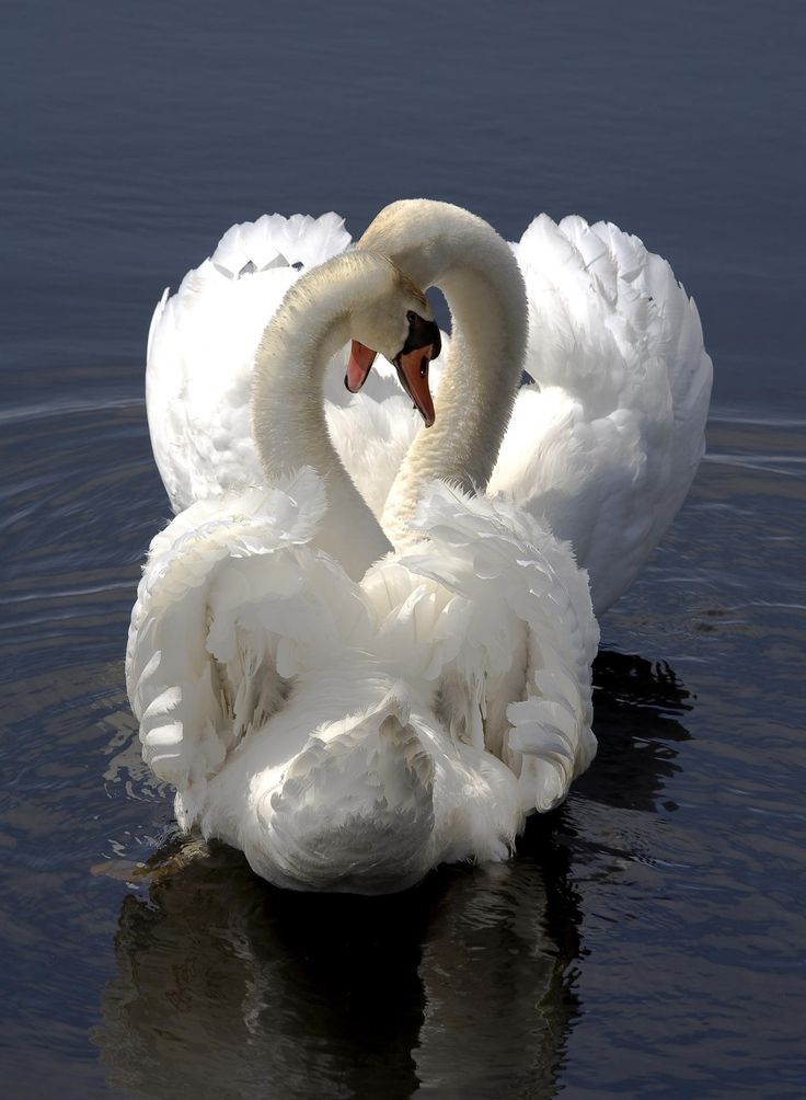 Swans in Love by Klaus Lang on 500px