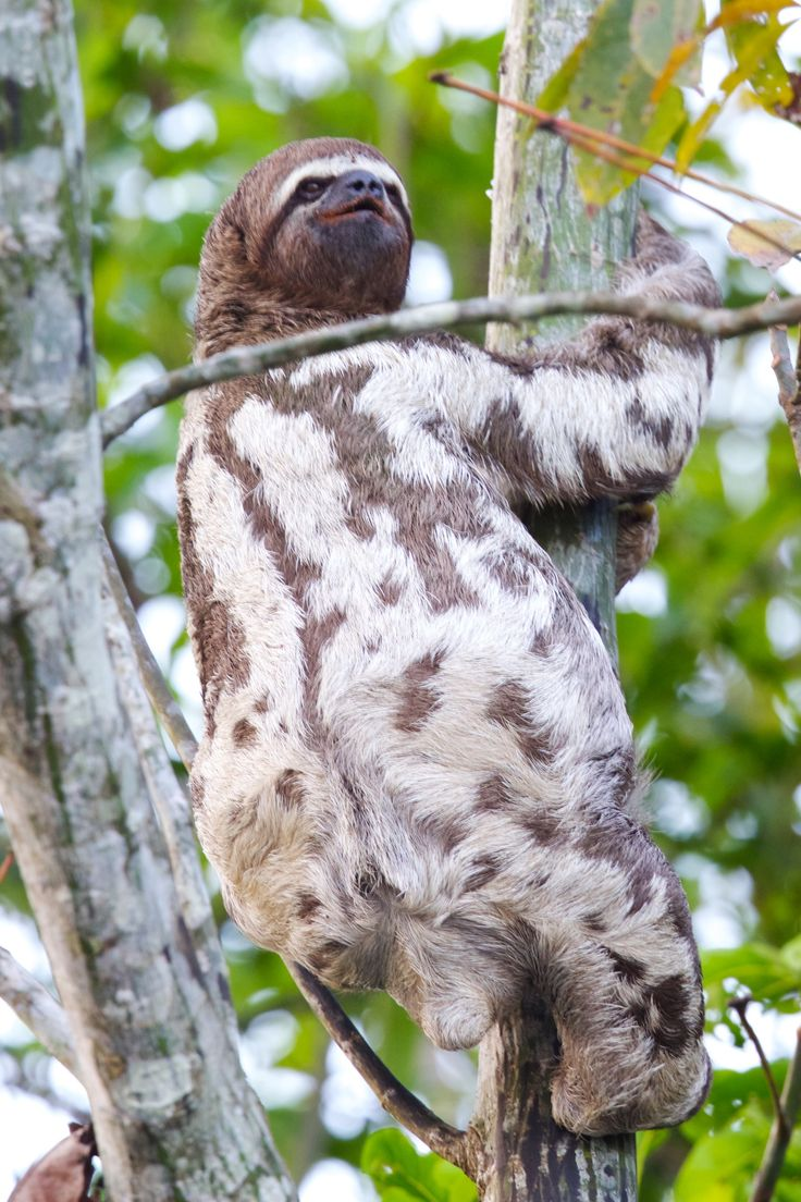 The Spotted Cuscus of New Guinea, Australia is a marsupial related to possoms
