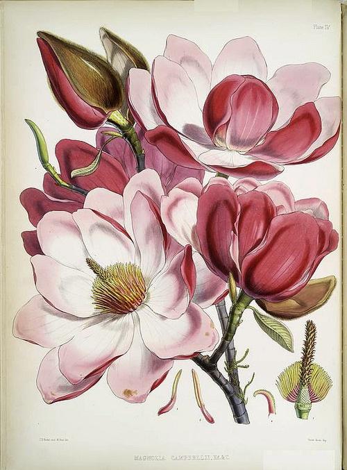 Antique botanical print.