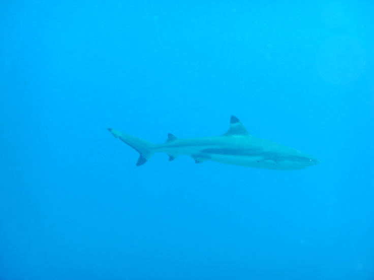 Black tip reef shark - Just as ghostly as I remember
