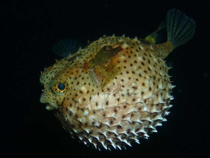 121 best fish puffer images on pinterest exotic fish for Puffer fish price