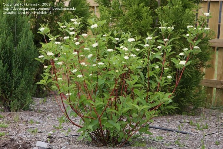 Full size picture of Bailey Red Twig Dogwood, Redosier Dogwood, Red Osier Dogwood  (winter interest)