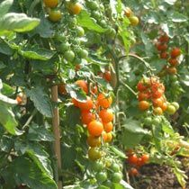sungold tomatoes - small and sweet type, sow seeds in march/april