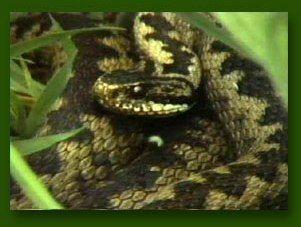 De Adder De gewone adder is een slang en hij behoort tot de familie van de adders (vipera) en alle soorten adders zijn giftig. De adder wordt maximaal 1 meter lang, de mannetjes zijn iets kleiner dan de vrouwtjes. Hij leeft overwegend op vochtige maar zonnige plaatsen aan bosranden, op heide of zelfs in weiden.