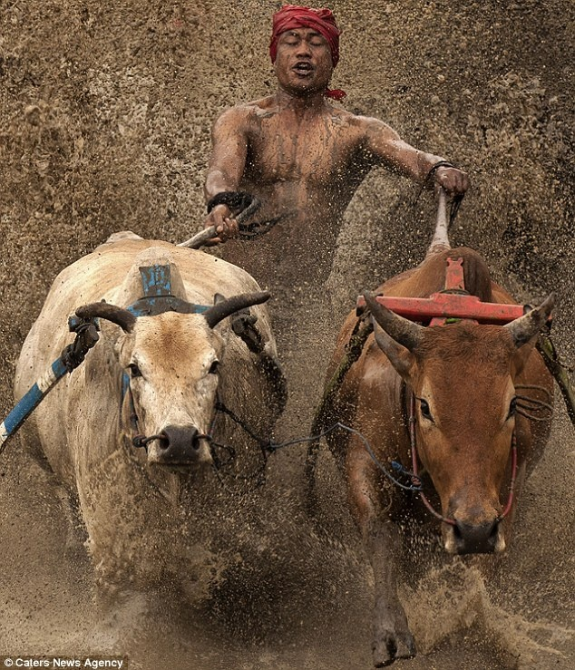Dirty: The somewhat deranged Sumatran sport of Pacu Jawi is an Indonesian tradition which involves racing 700 bulls around a field by their tails
