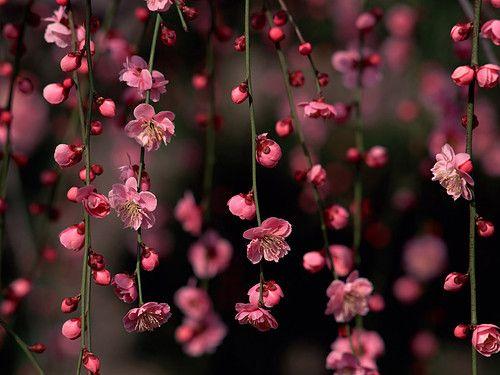 ~love~Cherries Blossoms, Pink Flower, Spring Flower, Flower Art, Desktop Backgrounds, Flower Wallpapers, Desktop Wallpapers, Hanging Flower, Pink Flowers-Yachao