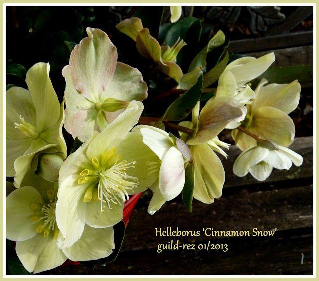 new helleborus sowu0027 neue christrose snowu0027