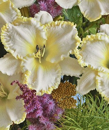 Cottage farms direct marquee moon ruffled daylily after for Hearty low maintenance plants
