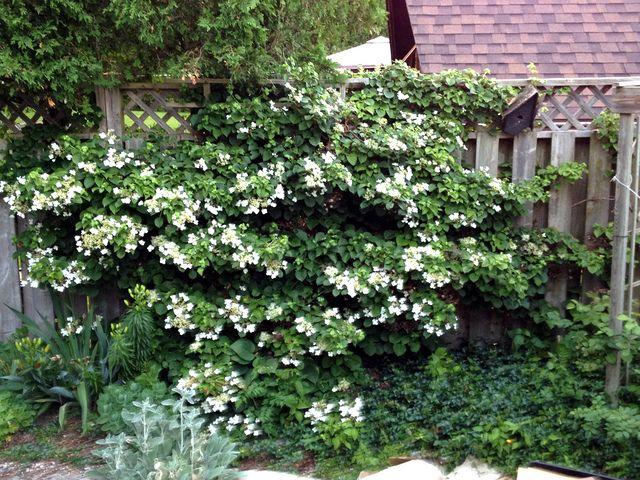 17 meilleures id es propos de plante grimpante ombre sur pinterest spot terrasse fleur. Black Bedroom Furniture Sets. Home Design Ideas
