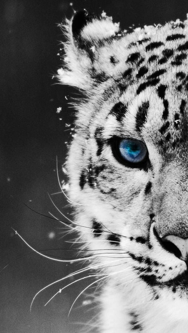 Tiger Wallpaper for IPhone