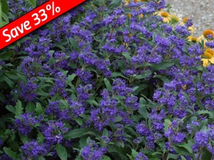 """Caryopteris Grand Bleu Deer Proof & Drought Tolerant Fragrant foliage& flowers Long blooming blue flowers in late summer Easy, low growing hedge plant The darkest blue of all Caryopteris!  Zone 7 Blooms Mid-summer-Late Summer 24-36"""" X 24-36"""": Big Blue, Blue Flowers, Flowering Shrubs, Late Summer, Perennial Gardens, Plants, Shrub Blooming"""