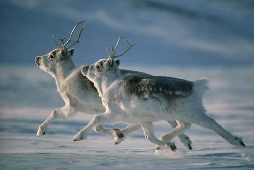Two Peary caribou flee through the snow on Ellesmere Island. JIM BRANDENBURG/National Geographic Creative