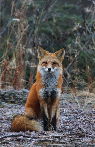 Sittin' Pretty ~ by Wolfhorn #fox #red_fox #Vulpes_vulpes #photography #wildlife #myt