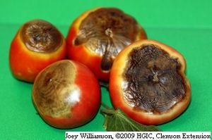 Blossom end rot symptoms on tomato fruit. Needs calcium in soul, so add gypsum