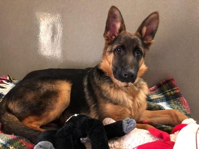 German Shepherd Dog Dog For Adoption In Waterford Va Adn 811821