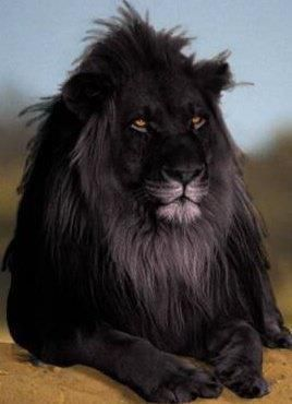 A rare black lion. My understanding is that almost all large cats