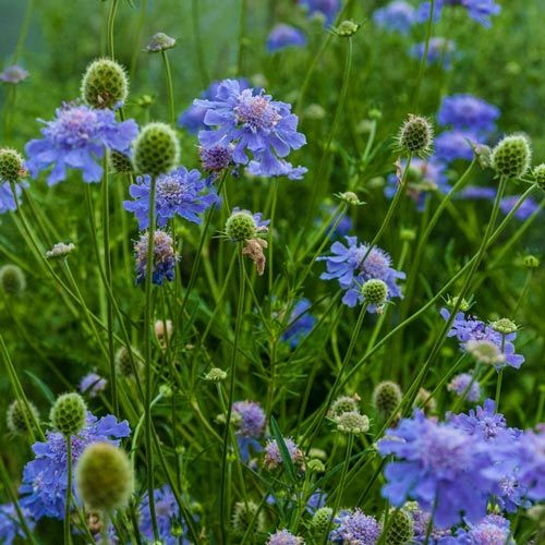 Buy Butterfly Blue Scabiosa at Spring Hill Nursery