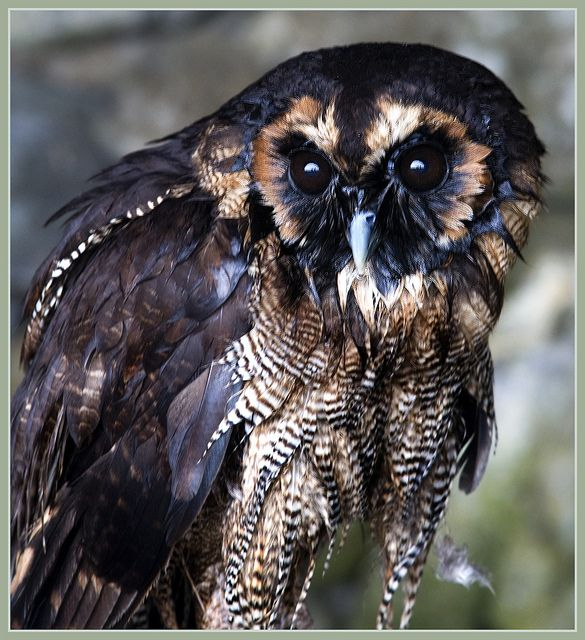 """The brown wood owl    Brown Wood Owl (Strix leptogrammica)  Length 34-55cm 15-22""""  Wingspan 94-130cm 77-51""""  Weight 800-1100g 28-39oz"""