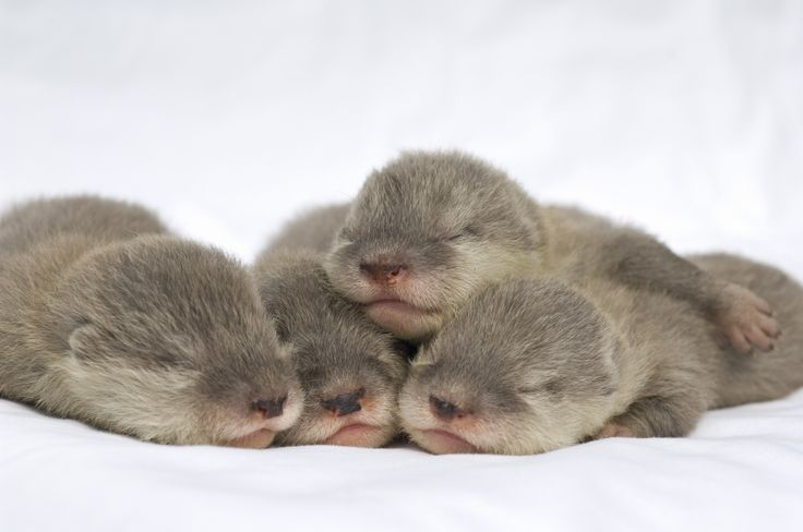 baby otters omg: Babies, Cuteness, Adorable Animals, Baby Otters, Baby Animals, Things, Photo, Babyotters