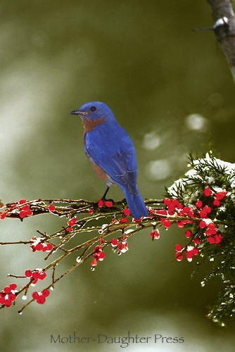 Blue bird on branch with red berries and snow falling.