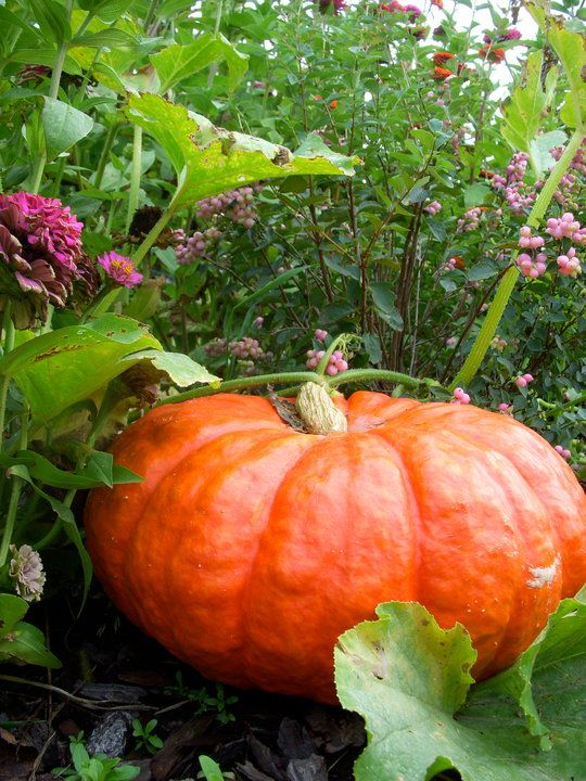 Cinderella pumpkins wander through my Meadow in the fall.