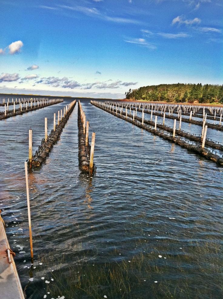 Raspberry Point #Oysters, #PEI. peiflavours.ca