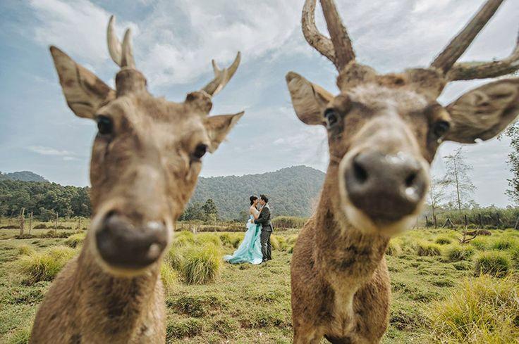 Wer auf diesem Hochzeitsfoto im Vordergrund steht? Na, ganz sicher nicht das Brautpaar. Vielmehr schob sich beim romantischen Shooting vorwitziges Wild vor die Linse des Fotografen, der das Bild bei der International Society of Professional Wedding Photographs (ISPWP) einreichte. (Bild Copyright: Hendra Lesmana/ISPWP/Caters News Agency)