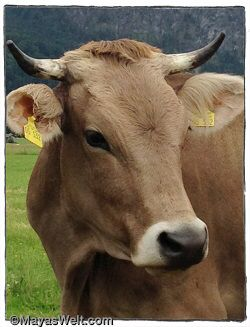 Wie sieht die Schattenseite der Milch- und Käseproduktion aus? Schaut hinter die Kulissen von Betrieben, die namhafte Babymilch-Hersteller, beliefern.