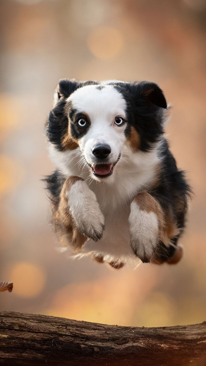 Dog Outdoor Portrait Australian Shepherd 720x1280 Wallpaper