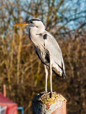 Looking at the Wonderful Wildlife of the Waveney and the Norfolk Broads