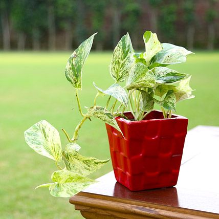 Buy Money plant online to gift your husband on your anniversary occasion.