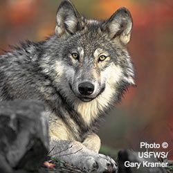 Urge Secretary of Agriculture Tom Vilsack to impose a moratorium on Wildlife Services killing of wolves