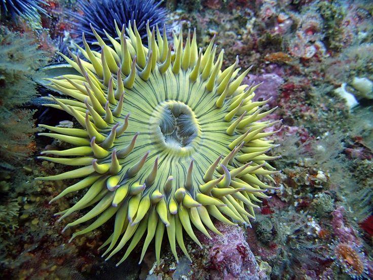 Anêmona Anthopluera sola, conhecida como a Anêmona Explosão de Estrelas ou Anêmona Gigante Verde, é uma espécie de anêmona do mar da família Actiniidae.  Fotografia: Evan Barba / SBC LTER.
