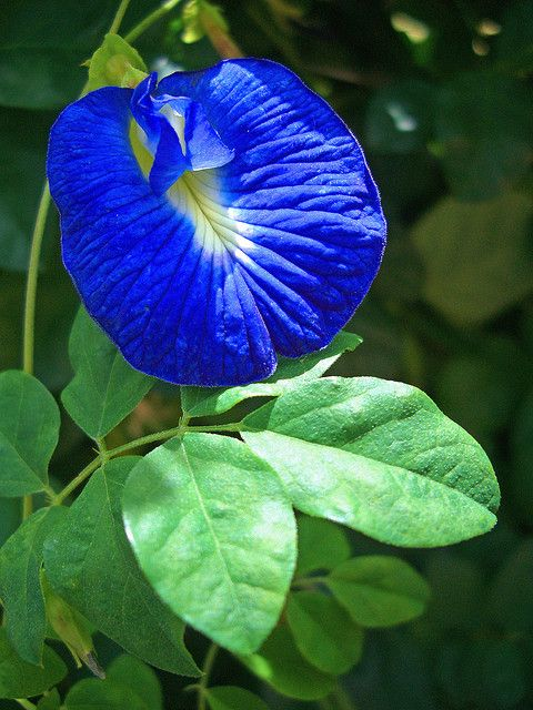 Blue Butterfly Pea-Bunga telang (or bunga teleng or kembang teleng or bunga biru) is also known as Butterfly Pea or Blue Pea Vine in English. This plant is native to tropical equatorial Asia, but has been introduced to Africa, Australia and America. A natural blue food dye.