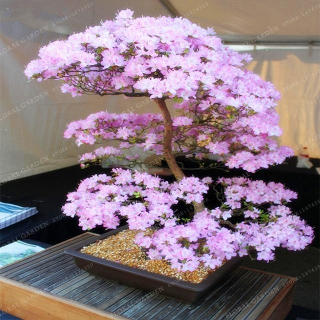 Japanese Cherry Blossoms Bonsai Bonsai Seeds Bonsai Flower Bonsai Garden