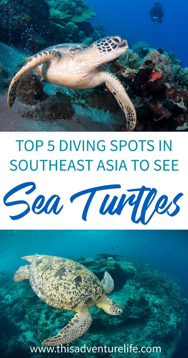Top 5 places in Southeast Asia to scuba dive with sea turtles.   #thisadventurelife #scuba #philippines #indonesia #bali #malaysia #seaturtles #divingwithturtles