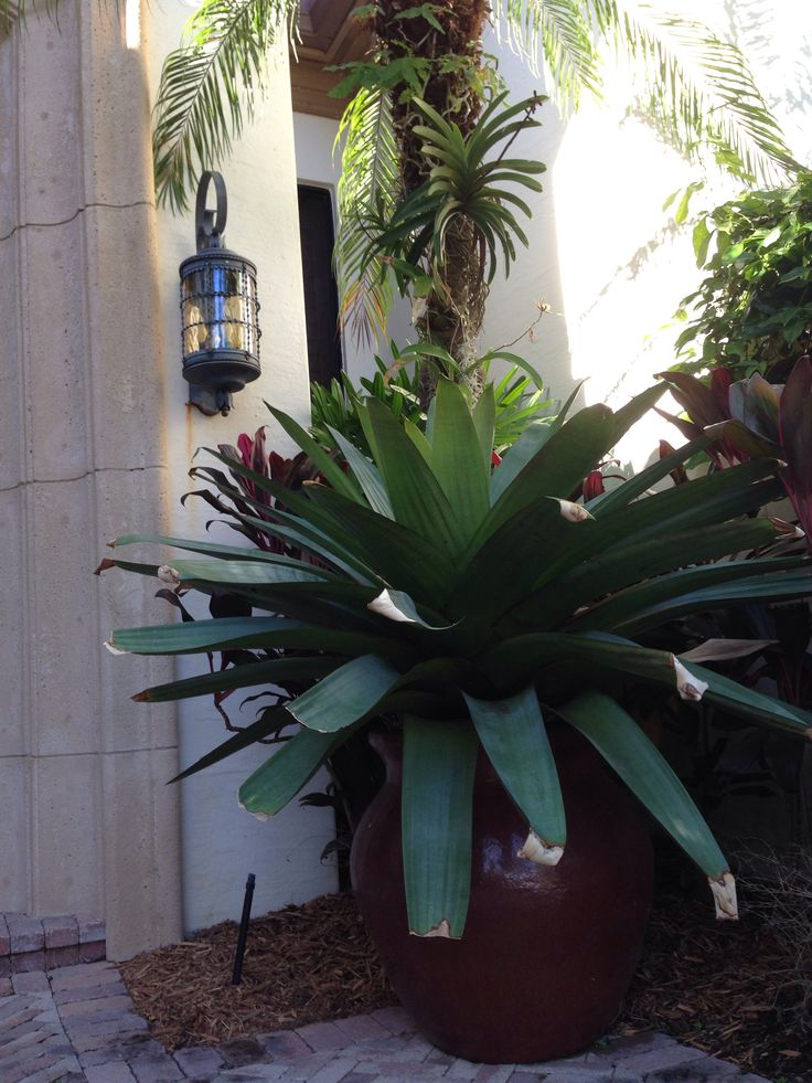Giant Emperial Bromeliad In Large Pot For Dramatic Entry