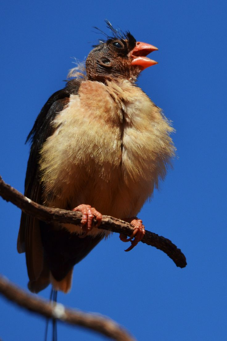 The shaft-tailed whydah whose head must rank among the least attractive in the bird world.