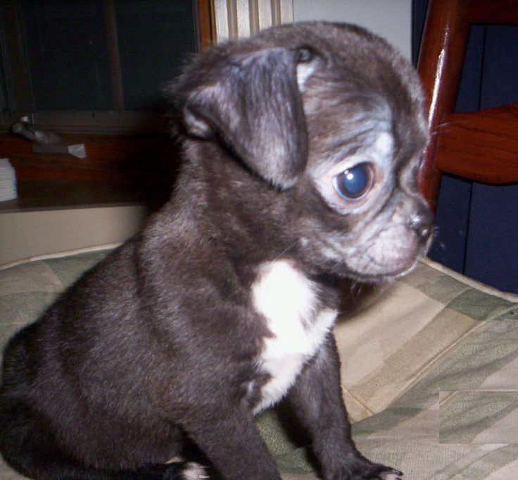 want to see pictures of a tea cup pug and chuahaha | pug chihuahua mix dogs