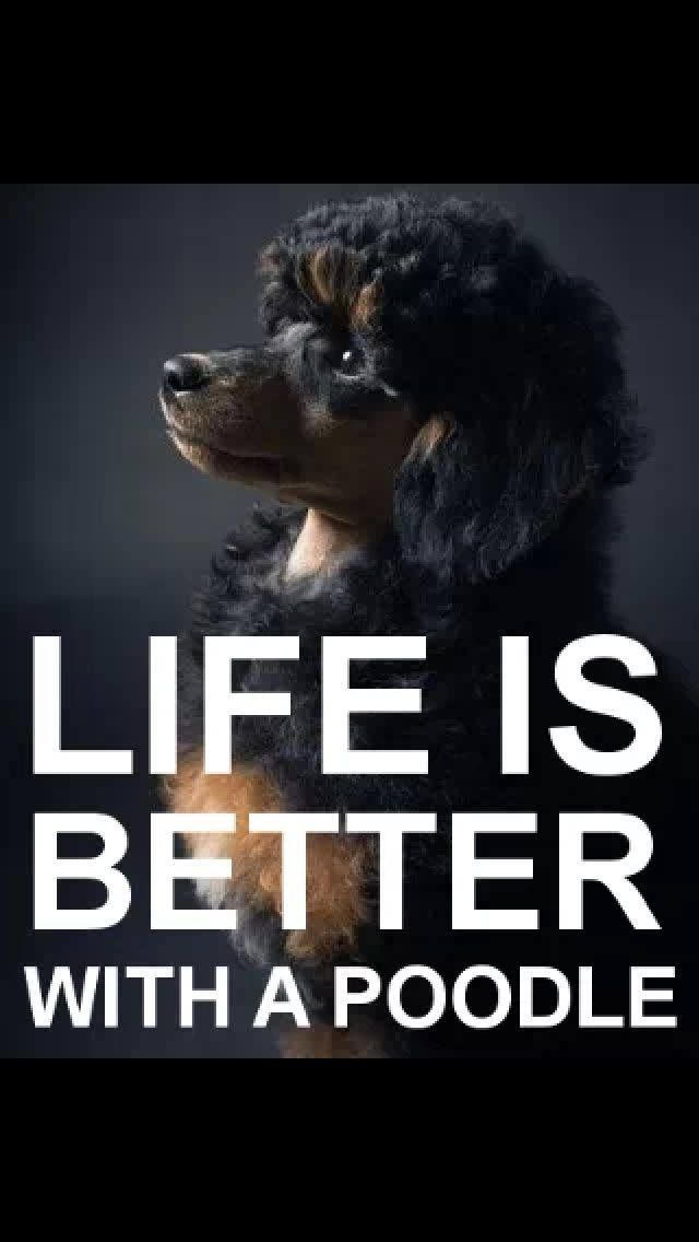 JUST LOST OUR SWEET, LOVING, AMAZING MINI-POODLE, SHADOW, TODAY.... REST IN PEACE, LITTLE BOY. WE LOVE YOU SO VERY MUCH X INFINITY <3<3<3<3<3<3<3